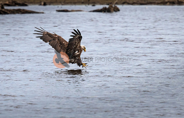 Sub Adult Bald Eagle with feet forward going in to water for fish on cloudy day