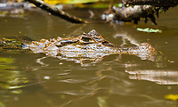 Spectacled Caiman (Lagarto), Caiman crocodilus, floats in the Tortuguero River (Rio Tortuguero) in Tortuguero National Park, Costa Rica