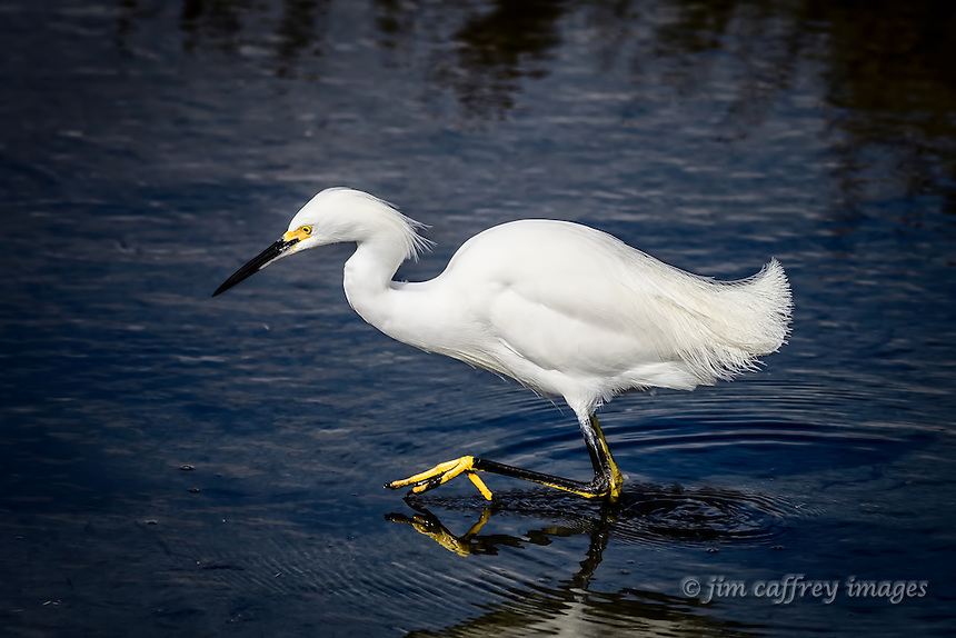 A Snowy Egret wades the in search of a meal at Bolsa Chica Ecological Preserve in Huntington Beach, California.