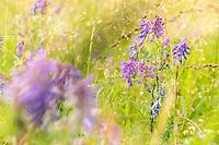 Purple Vicia cracca flowers (tufted vetch, cow vetch, bird vetch, blue vetch, boreal vetch), is a species of vetch native to Europe and Asia. SOTELEDEN, West Sweden, Sweden - Västsverige, Sverige