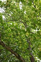 Linde, Lindenblüte, Lindenblüten, Holländische Linde, Hybridlinde, Hybrid-Linde, Tilia x europaea, Tilia x vulgaris, Tilia cordata x Tilia platyphyllos, Lime, Common Lime, linden, common linden, Le tilleul commun