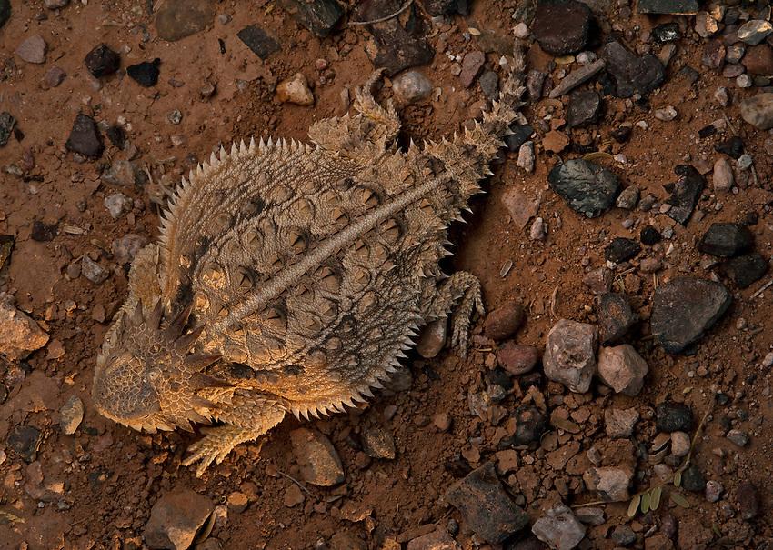 Regal Horned Lizard - Phrynosoma Solare - Basking at sunset in the Southern Arizona desert.