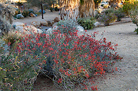 Justicia californica, Bluperone, Chuparosa; resilient, drought tolerant summer-dry garden at Palm Springs Art Museum in Palm Desert, California