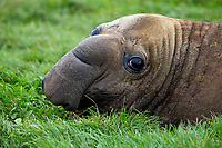 Southern Elephant Seal (Mirounga leonina) resting in the grass on Enderby Island in the Aukland Islands, New Zealand.