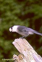 1J01-006z   Gray Jay - Perisoreus canadensis