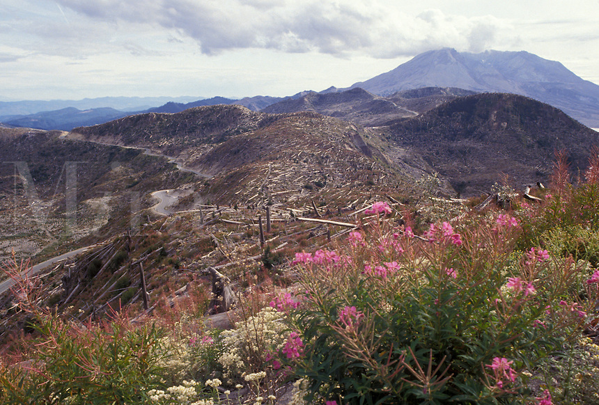 AJ3692, Mount Saint Helens, volcano, Mount Saint Helens National Volcanic Monument, Cascades, Cascade Range, Washington, Fireweed grows among the devastation in the volcanic area from the 1980 eruption at Mount St. Helens National Volcanic Monument in the state of Washington.
