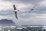 Black-browed albatross (Thalassarche melanophris) in flight over sea. Straits of Magellan, Patagonia, Chile (composite image)
