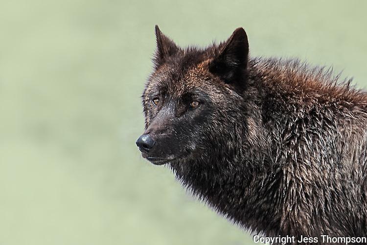 Wolf, Yellowstone National Park