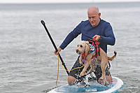 BNPS.co.uk (01202 558833)<br /> Pic: ZacharyCulpin/BNPS<br /> <br /> Pictured: A competitor picks his dog out of the surf<br /> <br /> Putting their best paw forward hoping to ride the wave of success - Competitors and their dogs take part in the annual Dog Surfing championships.<br /> <br /> The event known as The 'dogmasters' took place today on Bournemouth beach in front of packed crowd, it's the country's only dog surfing and paddleboard championship.
