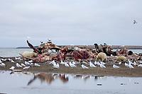 polar bear, Ursus maritimus, mothers with cubs feeding on a bowhead whale, Balaena mysticetus, carcass on the pack ice, 1002 coastal plain of the Arctic National Wildlife Refuge, Alaska, polar bear, Ursus maritimus