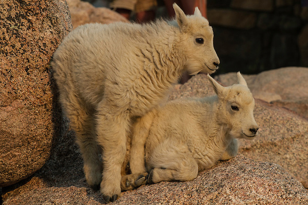 Baby mountain goats (kids) rest at the summit parking lot of Mt Evans, just south of Rocky Mountain National Park.