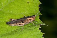 Brauner Grashüpfer, Feldheuschrecke, Chorthippus brunneus, Glyptobothrus brunneus, Chorthippus bicolor, Stauroderus brunneus, field grasshopper, common field grasshopper