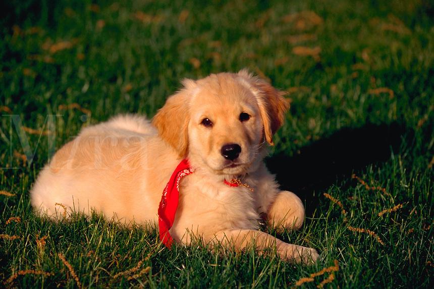 Golden retriever puppy lying in the grass.