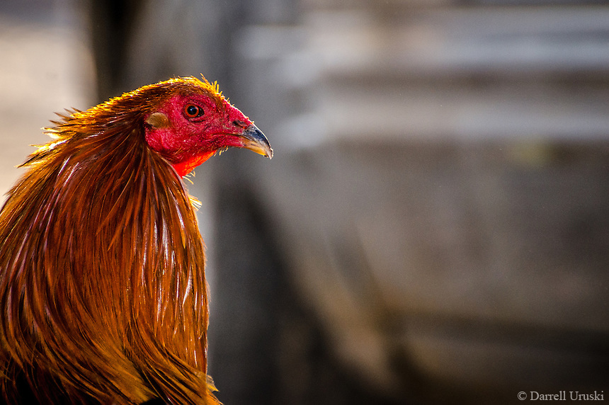 Nature Photography. Close up photograph portrait style head and shoulders of a rooster looking at the camera.