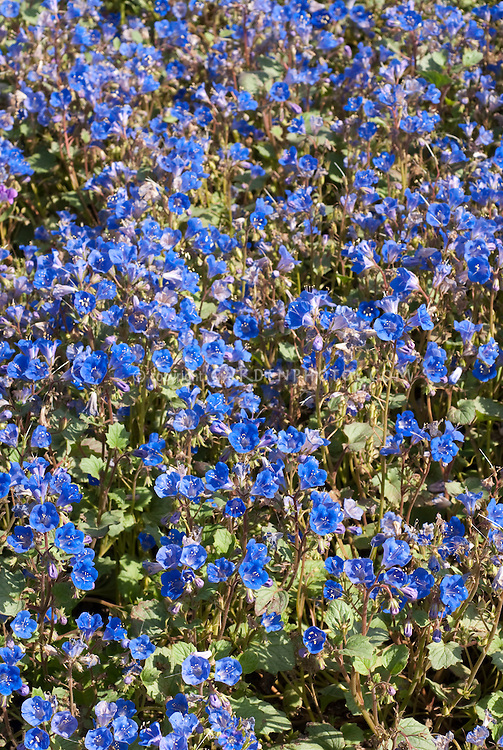 Blue flowers of American wildflower Desert Bluebell Phacelia campanularia 'Blue Wonder'