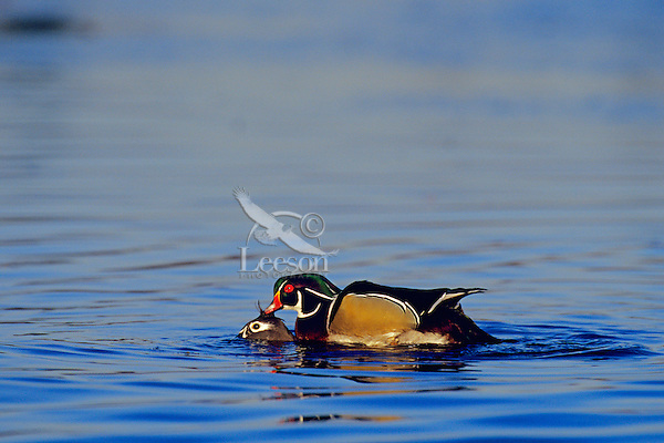 Wood Ducks (Aix sponsa) mating.  Pacific Northwest.
