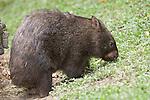 Kuranda, Queensland, Australia; Kuranda Koala Gardens, Common Wombat (Vombatus ursinus) , © Matthew Meier, matthewmeierphoto.com All Rights Reserved