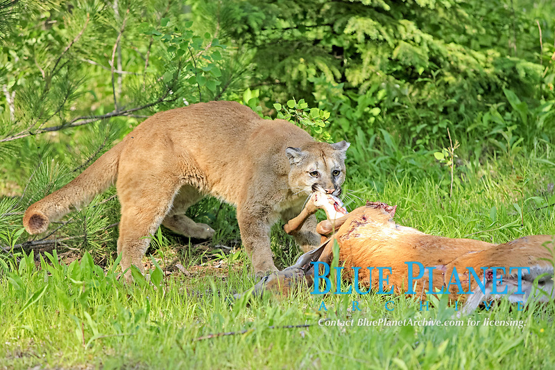 Puma (Puma concolor), adult, feeding on deer kill, Minnesota, USA, America, North America