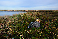 Emperor Goose (Chen canagica) incubating eggs on the nest beside a tundra lake. Yukon Delta, Alaska. June.