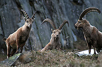 A young and two older capra ibex standing close together