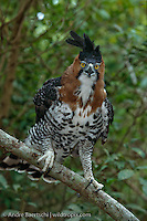 Ornate Hawk-Eagle, (Spizaetus ornatus), portrait, tropical rainforest, Rio Tuichi, Madidi National Park, Bolivia.