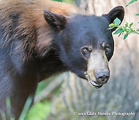 Large brown-colored male Black Bear (Ursus americanus) at close range, Northern Minnesota.  The lighter-colored fur on his shoulder is the remnant of his winter coat, which is almost completely shed here.