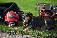 Batavia Muckdogs groundskeeper Don Rock's dog Haley sits among the equipment during the teams first official practice on June 15, 2013 at Dwyer Stadium in Batavia, New York.  (Mike Janes/Four Seam Images)