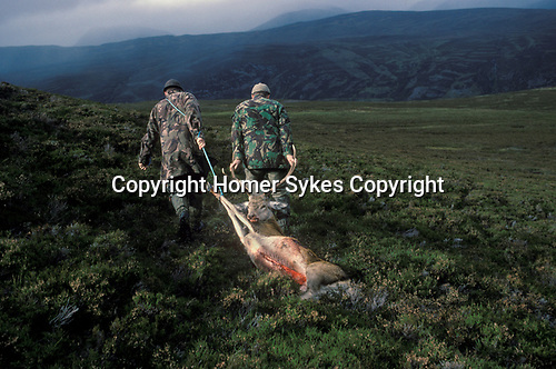 Braemar, Aberdeenshire, Scotland. 1994<br /> On the Mar Lodge estate two ghillies drag a red deer stag to their Land Rover, culled by wealthy overseas recreational shooters, it's being taken back to the estate hunting lodge.