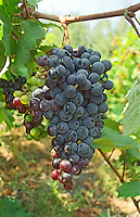 A ripe bunch of grapes, probably Grenache Noir, for Banyuls wine in Collioure, Languedoc-Roussillon, France