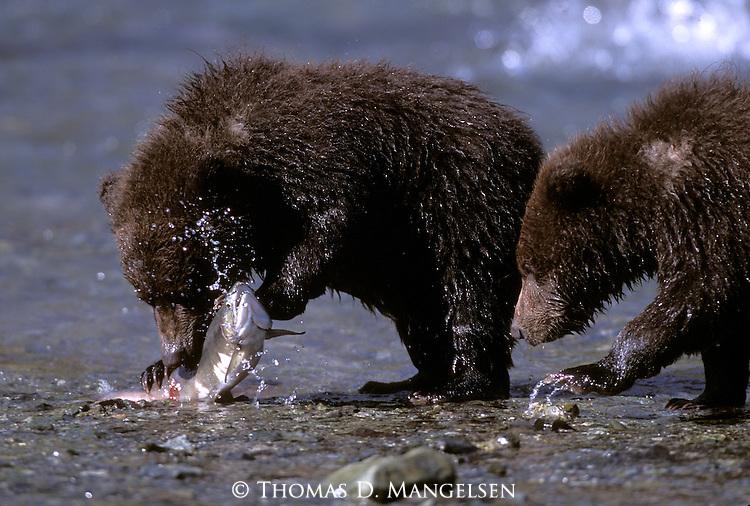 Two Alaskan Brown Bears (Ursus arctos)  feeding in a stream in Southeast, AK