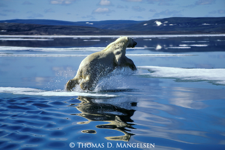 A polar bear jumps into the cold arctic water for a swim in Hudson Bay, Manitoba, Canada.