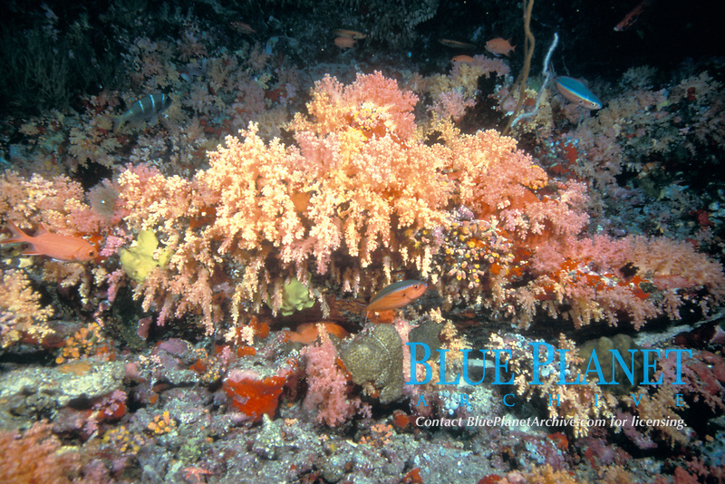 coral reef scenic, Nocturnal Chamber, Rainbow Reef, Maldives, Indian Ocean