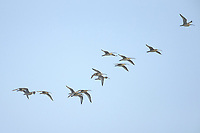 A flock of Far Eastern Curlew (Numenius madagascariensis) flying to roost in the Yellow Sea. Yalu jiang, China. April.