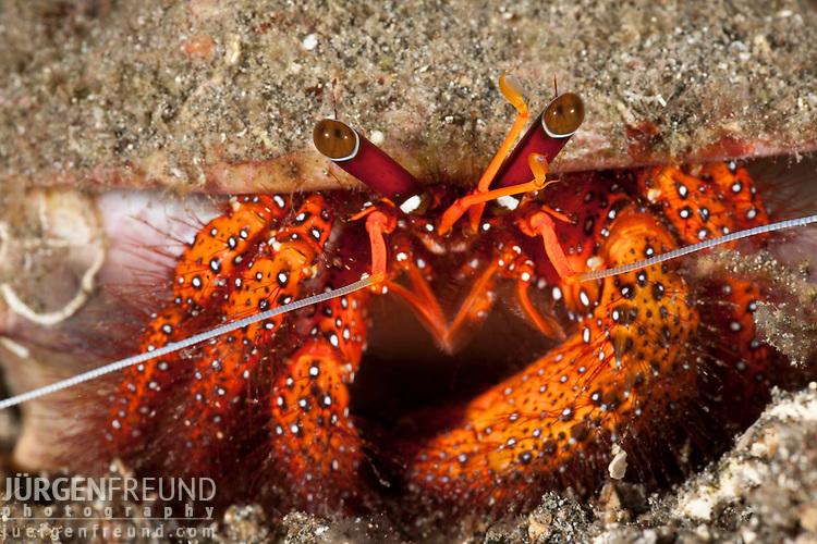 Hermit crab (Dardanus megistos) on sandy bottom.