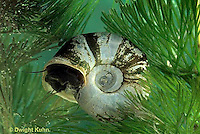 1Y04-033c  Water Snail - freshwater, Ramshorn snail - Helisoma trivolvis