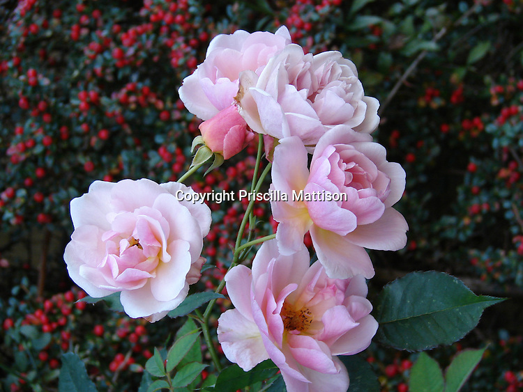 Closeup of pink roses against red berries
