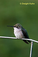 HU02-514z  Ruby-throated Hummingbird resting on garden fence, Archilochus colubris.