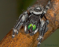 0412-07oo  Regal Jumping Spider - Phidippus regius © David Kuhn/Dwight Kuhn Photography
