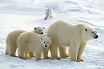 A polar bear stands with her cubs, an arctic fox following behind them.