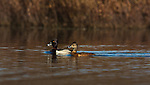 Drake and hen ring-necked ducks swimming in a northern Wisconsin lake.