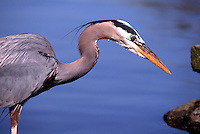 Great Blue Heron (Ardea herodias) fishing in Lake