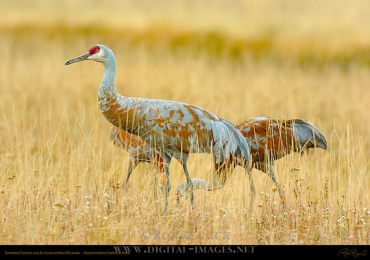 Sandhill Cranes and Juvenile in Fall Plumage, Yellowstone National Park, Wyoming