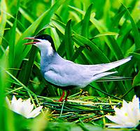 Weißbart-Seeschwalbe, Weißbartseeschwalbe, am Nest, Seeschwalbe, Seeschwalben, Chlidonias hybrida, Chlidonias hybridus, Whiskered tern, Seeschwalben, Sternidae, terns, flight, Guifette moustac