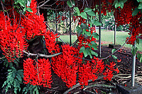 red jade vine flower, Nani Mau gardens, Hilo, Big Island, Hawaii, Pacific Ocean