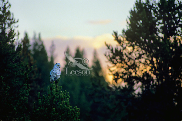 Great gray owl at sunset/sunrise.