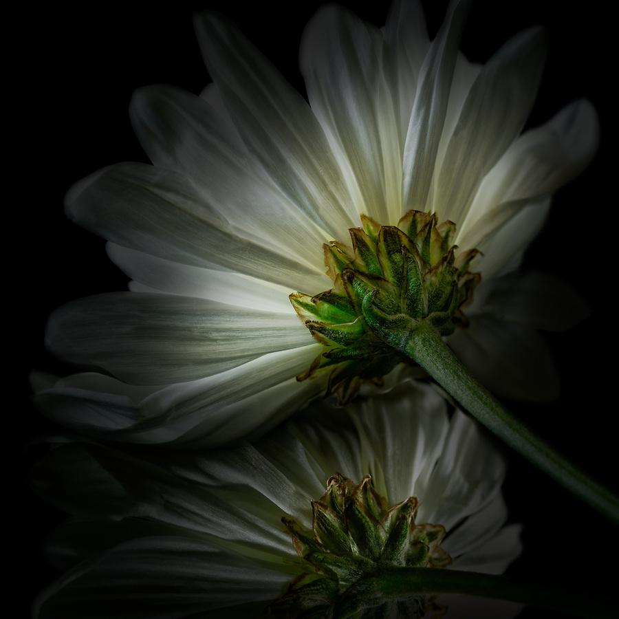 White Daisy LD