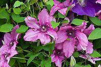 Clematis 'Barbara', vivid purplish-pink flowers perennial flowering vine