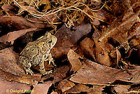 FR14-001x  American Toad - young toad camouflaged in leaves - Anaxyrus americanus, formerly Bufo americanus