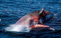 Sperm Whale, Physeter macrocephalus,floating cadaver in open sea, Bleik canyon, Norwegian sea, Arctic, North Atlantic