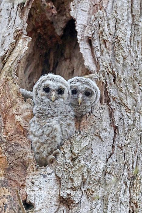 Barred owl siblings